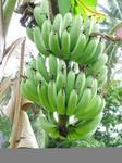 Tioman13-banana